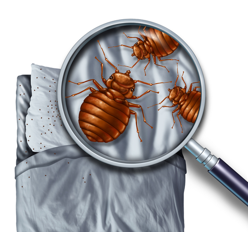Top place bedbugs hide